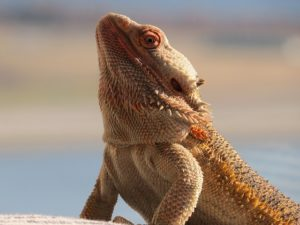 bearded-dragon-1489575_640