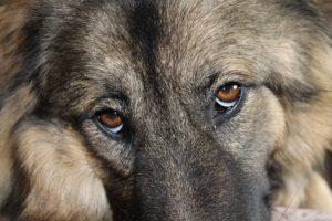 dog-eyes-2371759_640
