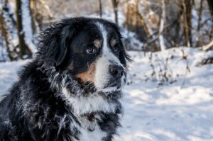 bernese-mountain-dog-1960169_640